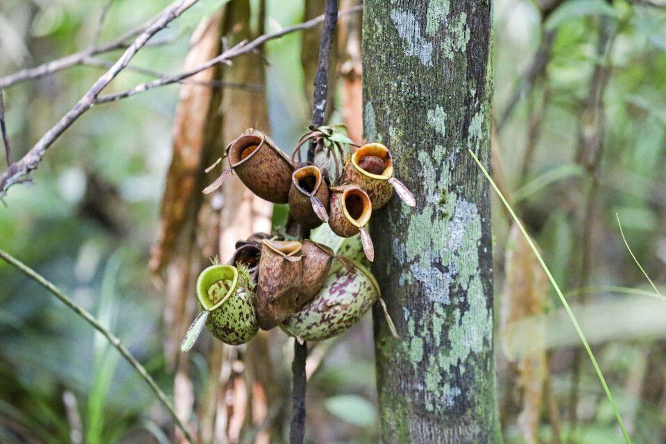 In den Wäldern Borneos