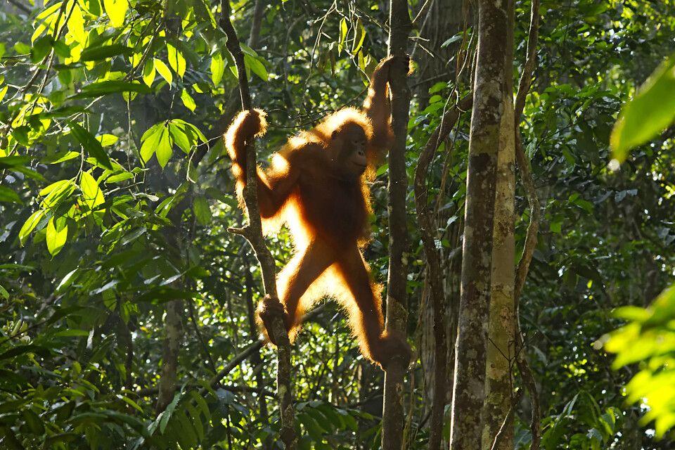 Orang-Utan im Semengoh Wildlife Rehabilitation Centre