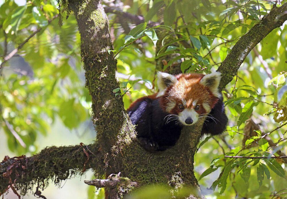 Roter Panda in Ostnepal