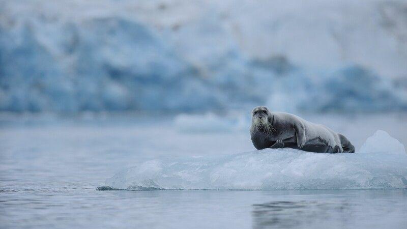 Bartrobbe ruht auf einer Eisscholle © Diamir