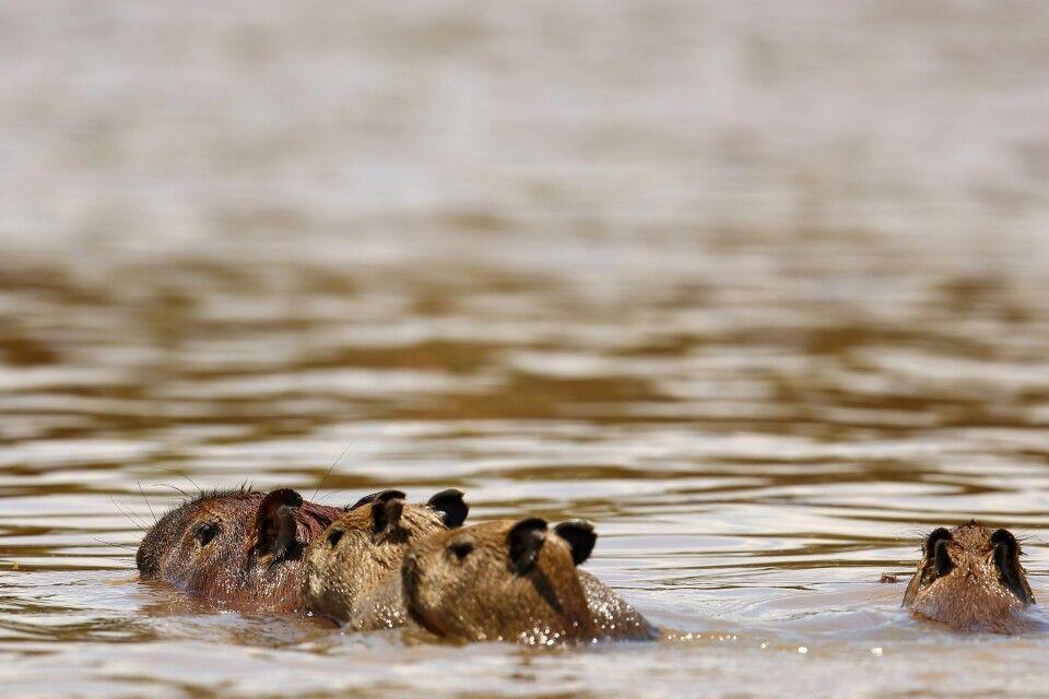 Schwimmende Wasserschweine