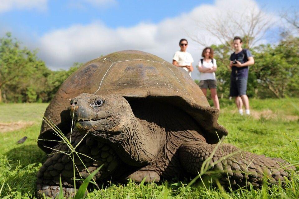 Riesenschildkröte voraus
