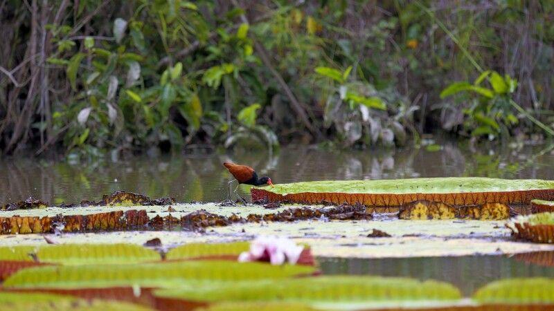 Ein Vogel auf den großen Riesenseerosen © Diamir