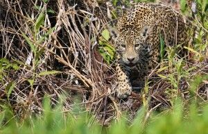 Jaguar auf der Pirsch
