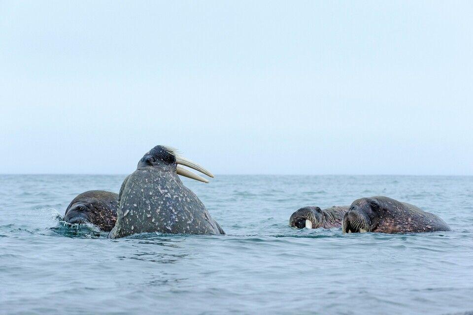 Walrosse suchen am Grund nach Muscheln
